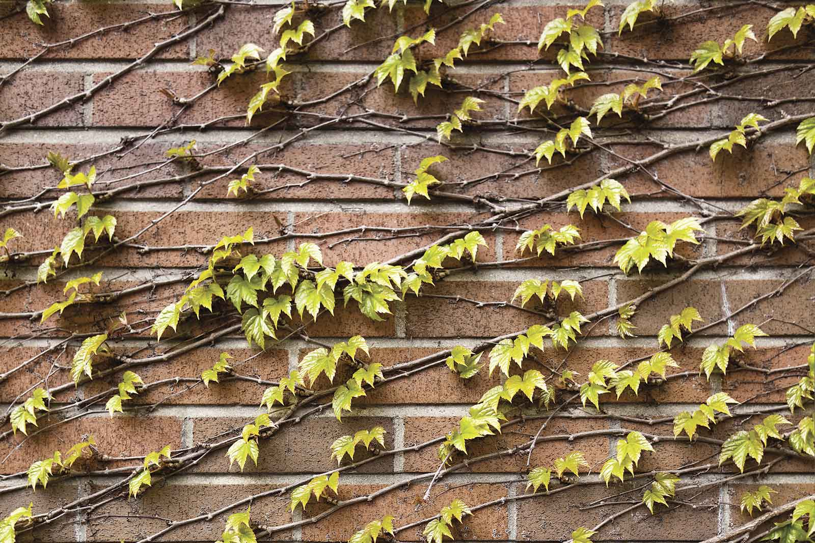Red brick wall on the exterior of New College, covered in vines and leaves.